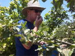Harvesting Apples for Israel's Poor